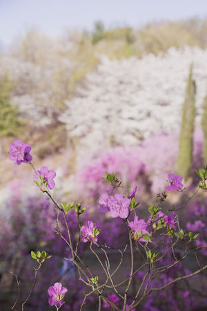 Spring landscape with Spring Flowers Blooms scenic. Blossoming branches of rhododendron, forsythia, cherry flowers 073