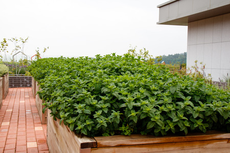 Peppermint plant grown in rooftop garden Banco de Imagens