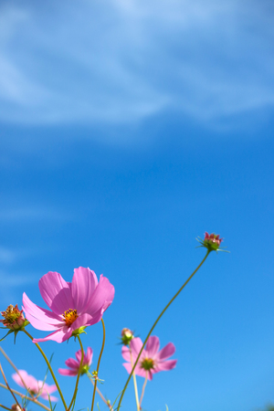 Autumn nature landscape with cosmos, blue sky, lotus, and silver grass 007 Фото со стока - 115809629
