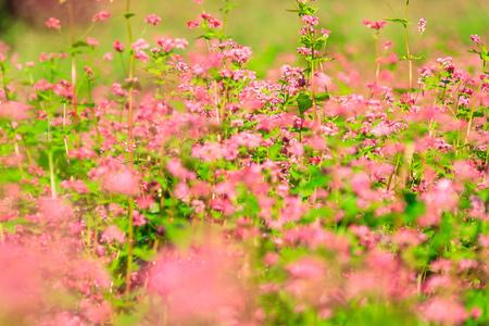 Buckwheat flowers of korea