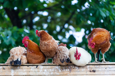 the chicken harmonious  family