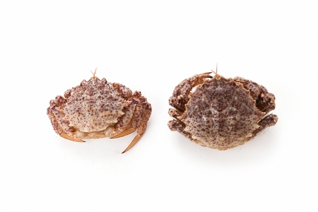 two horsehair crabs, white background