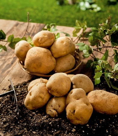 potatoes on woven basket and soil