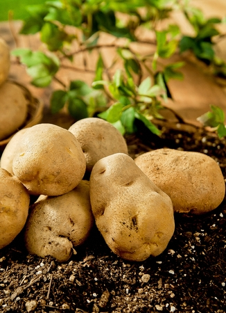 poatoes on soil
