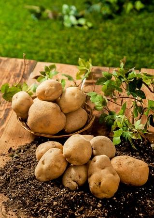 Jerusalem artichokes on round wood plate and potatoes on soil