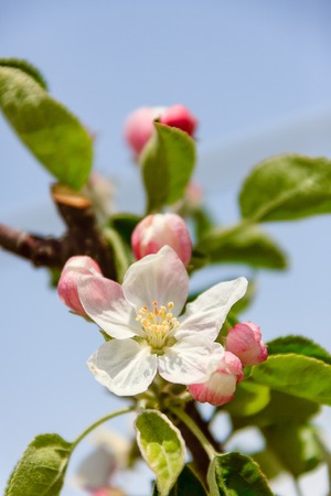 Beautiful spring apple blossom Stockfoto