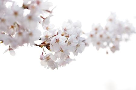 Blühender Baum im Frühjahr, Nahaufnahme von Kirschblüten Standard-Bild