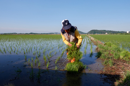 Farmer are planting rice in field
