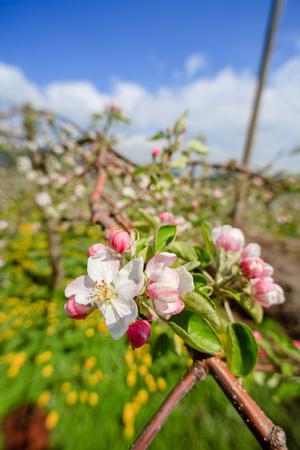 Beautiful spring apple blossom Stockfoto