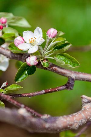 Beautiful spring apple blossom Reklamní fotografie