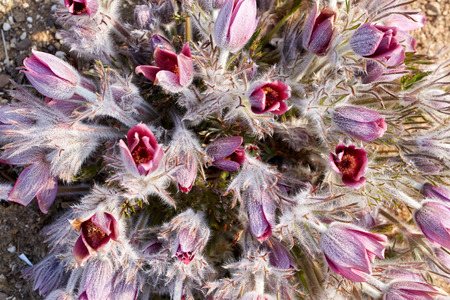 Dew hit pasqueflower, pasqueflower Donggang 写真素材