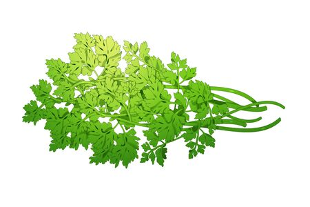 fresh herbs isolated on white background. Spring greens  draw illustration