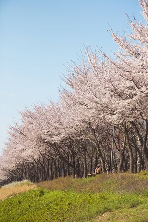 Beautiful cherry blossom, blooming tree in spring time 免版税图像