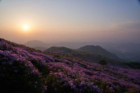 beautiful spring landscape of royal azalea blossom in Mt. Hwangmae, Korea, 일출 Imagens