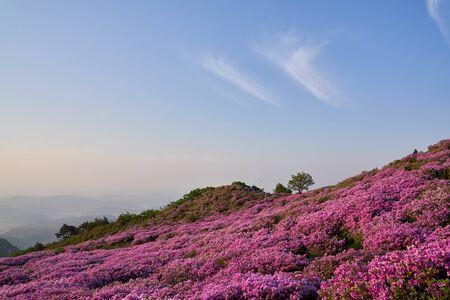 beautiful spring landscape of royal azalea blossom in Mt. Hwangmae, Korea