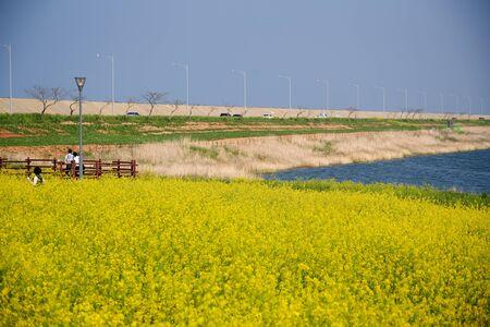 Spring flowers, beautiful rape flowers in rapeseed field