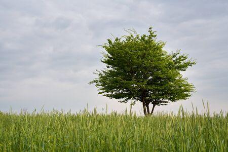 beautiful spring landscape of green barley Imagens