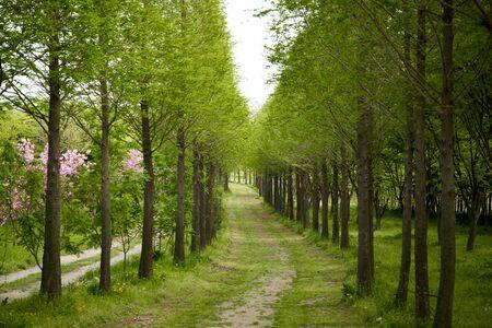 Metasequoia Road in Korea