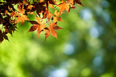 Sunlight with red maples Imagens