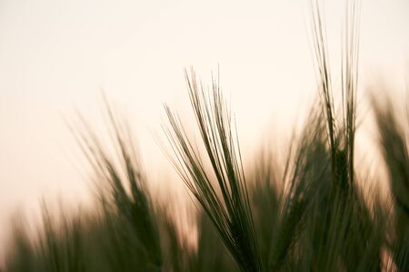 Green Barley over beautiful sunset light