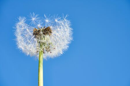 Blue sky and dandelion spores