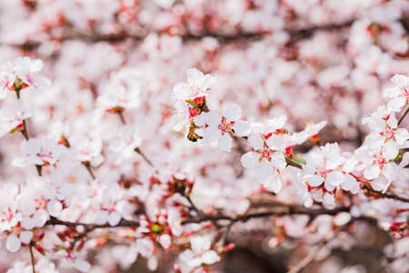 Spring flowers concept, beautiful nature scene with blooming tree Foto de archivo