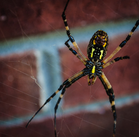 Yellow and black spider in web waiting for lunch.