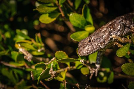 Nieuwsgierig Brown Lizard