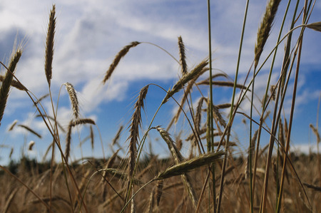Wheat Field Against A Blue Cloudy Sky Stock Photo