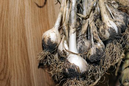 Garden Fresh Drying Garlic Bulbs Hanging On The Wall