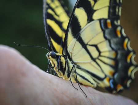 Beautiful Yellow And Black Butterfly On Finger Close-up
