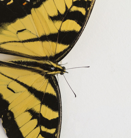 Beautiful Yellow And Black Butterfly Close-up on White Background