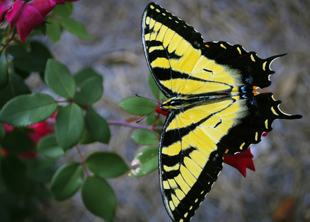 Beautiful Yellow And Black Butterfly Feeding On A Red Flower