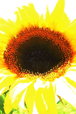 abstracted: Abstract Sunflower Stock Photo