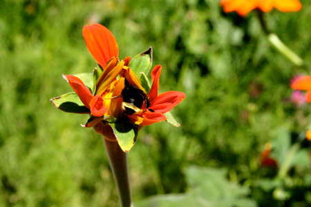 Bumble Bees Pollinate a Flower in the Spring