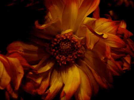 wilting: Abstra�da marchitamiento Daisy aislados contra fondo negro
