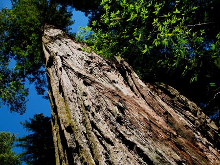 Towering Sequoia Tree in Redwood National Park, California