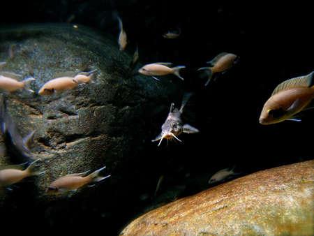 Catfish Swimming in Group of Fish in Dark Aquarium Stock Photo - 2349428