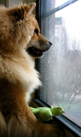 Chow Chow Breed Pet Dog Waiting at the Window Stock Photo