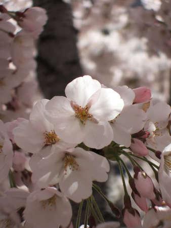 新しい春桜の詳細 写真素材