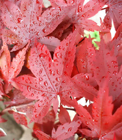 Red Japanese Maple Tree Leaves Covered in Raindrops after Storm photo