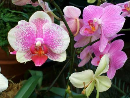 beautiful rare: Rare varieties of beautiful vibrant pink hothouse orchids