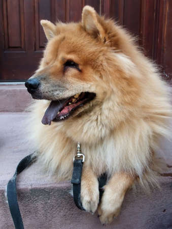 front stoop: Chow Chow Breed Dog on Leash Seated on Front Stoop