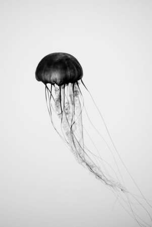 Abstract View of Translucent Jellyfish in Silhouette Underwater photo