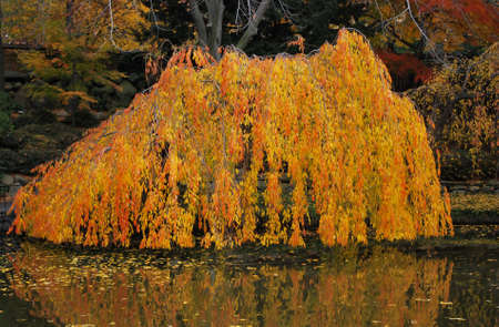 Autumn Foliage of Weeping Willow Reflected in Pond, Brooklyn Botanic Garden, New York photo