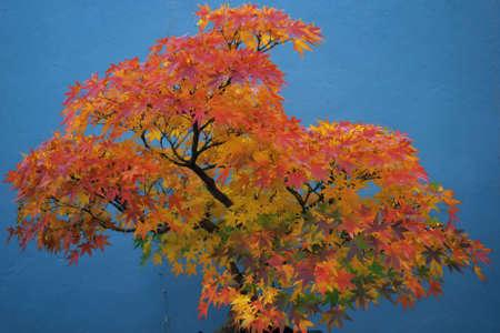 古代の日本のアメリカハナノキの Bonsai の木 写真素材 - 3833143