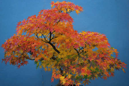 Ancient Japanese Red Maple Bonsai Tree  photo