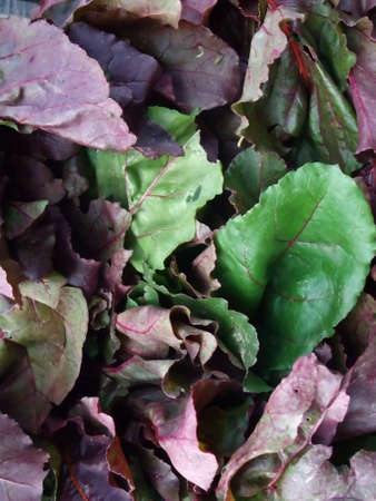 Detail of Organic Field Greens for Healthy Salad photo