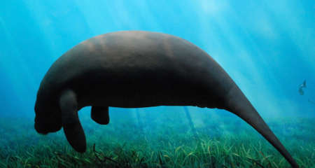 Silhouette View of Enormous Manatee Swimming Underwater Stock Photo