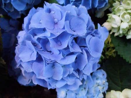 Floral Arrangement of Vivid Purple Hydrangea After Rain Storm photo